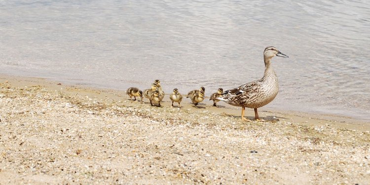 Mother-duck-Babies-on-Loch